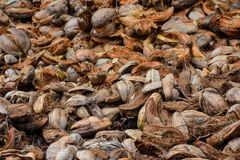 Plenty of old brown coconuts shells. Plenty of old brown dry coconuts shells at the tropical island in Maldives Royalty Free Stock Images