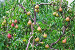 Plenty of pears growing on a tree Stock Image