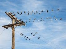 Plenty of pigeons Stock Image