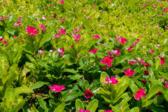 Plenty of pink catharanthus roseus flowers in flowerbed. At the garden Royalty Free Stock Photos
