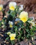 Beautiful Yellow Pansy Flowers Blooming royalty free stock photos