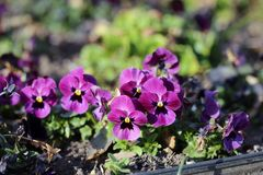 Small Purple Pansy Flowers Blooming. Plenty of pretty purple pansy flowers blooming. Photographed in Nyon, Switzerland during a beautiful sunny spring day royalty free stock photography