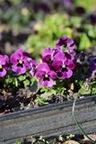 Small Purple Pansy Flowers Blooming royalty free stock photo