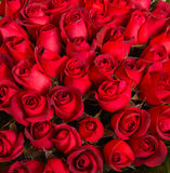 Plenty red natural roses background Stock Photo