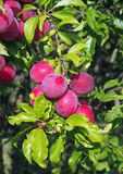 Plenty of ripening plums on garden  background Royalty Free Stock Photography