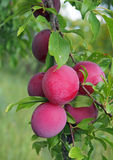 Plenty of ripening plums on garden  background Stock Photography