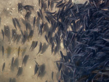 Plenty of small fishes in shallow water. Stock Photography
