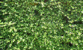 Plenty of small green leafs on the wall as the background texture Stock Photo