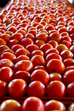 Plenty of tomatoes Stock Images