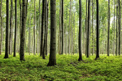 Plenty of tree trunks in the broadleaf forest Royalty Free Stock Images