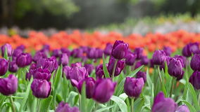 Plenty of tulip in garden. Feeling serenity stock footage