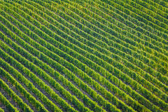 Plenty of vine rows in Palava, Royalty Free Stock Image