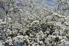 Plenty of white flowers of Prunus cerasifera against blue sky. Plenty of white flowers of Prunus cerasifera against the sky royalty free stock images