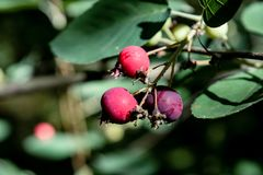 Bunch of wild black and red berries growing on the branch in the forest Royalty Free Stock Image