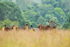 Plenty of wild deers Stock Photos