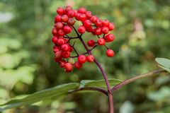 Bunch of wild red berries growing on the branch in the forest Stock Images
