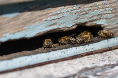 Plenty of working bees close up at the entrance of beehive in apiary. Honeycomb in a wooden frame. Stock Photo