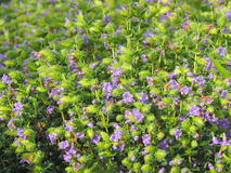 Pleocaulus Ritchei —art av blomman grundar i den Kaas platån Arkivfoton
