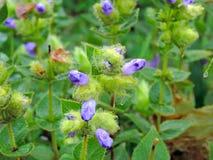 Pleocaulus Ritchei —art av blomman grundar i den Kaas platån arkivbilder