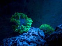 Plerogyra sinuosa, bubble coral. Star polyp, Clavularia. Reef tank, marine aquarium. Fragment of blue aquarium full of plants. Royalty Free Stock Images