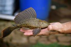 Plescostomus鱼 免版税库存图片
