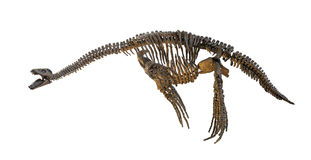 Plesiosaurus skeleton isolated Stock Photos