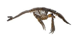 Plesiosaurus skeleton isolated stock photos
