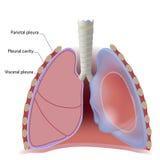 Pleura del polmone e cavità pleurica Fotografia Stock Libera da Diritti
