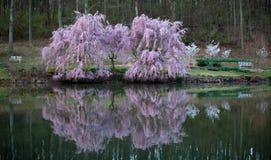 Réflexions de fleurs de cerisier Photo stock