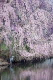 Réflexions de fleurs de cerisier et héron de grand bleu Images stock