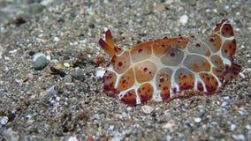 Pleurobranchusgrandis nudibranch op zwart zand in Filippijnse Anilao stock foto