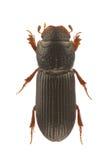 Pleurophorus caesus Royalty Free Stock Photos