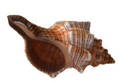 Pleuroploca gigantea壳 库存照片