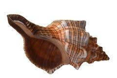 Pleuroploca gigantea shell. Stock Photo