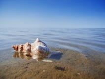 Pleuroploca trapezium mezzo nell'acqua piana Immagini Stock Libere da Diritti