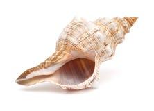 Pleuroploca trapezium, trapezium horse conch Stock Photos
