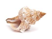 Pleuroploca trapezium, trapezium horse conch Royalty Free Stock Images