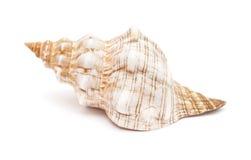 Pleuroploca trapezium, trapezium horse conch Stock Images
