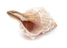Pleuroploca trapezium,, trapezium horse conch Royalty Free Stock Image