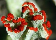 Pleurote de Cladonia, le lichen britannique de soldat dans le Connecticut, avec les apothecia rouges photographie stock