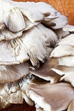 pleurotus μανιταριών Στοκ εικόνα με δικαίωμα ελεύθερης χρήσης