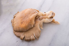 Pleurotus stock fotografie