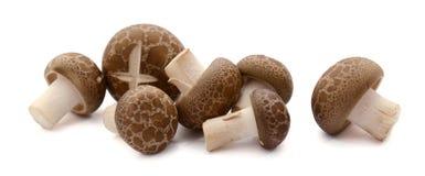 Pleurotus Eryngii King Oyster Mushroom isolated on white. Eryngii mushroom or King oyster mushroom on white stock photography