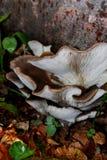 Pleurotus Stock Photo
