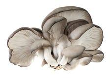 Pleurotus mushroom Stock Images