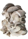 Pleurotus mushroom Stock Image