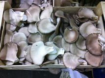 Pleurotus Mushrooms in crate Stock Images