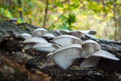Pleurotus ostreatus immagini stock