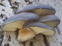 Pleurotus ostreatus Royalty Free Stock Image
