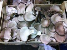Pleurotusen plocka svamp i spjällåda Arkivbilder